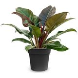 Philodendron Imperial Red S