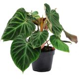 Philodendron (Philodendron verrucosum 'Incensi') D 15 H 30 cm